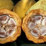 rescate-de-cacao-2